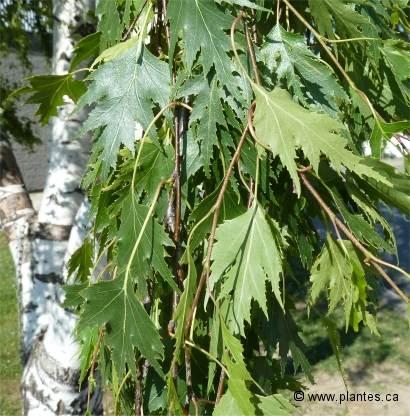 Bouleau pleureur lacini betula pendula 39 laciniata 39 - Feuille de bouleau photo ...