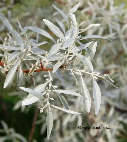 olivier de boh me elaeagnus angustifolia. Black Bedroom Furniture Sets. Home Design Ideas