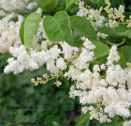 Lilas Japonais - Syringa reticulata