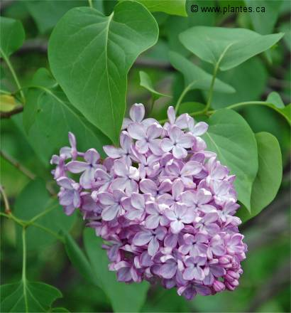 Lilas commun syringa vulgaris - Nom de fleur en anglais ...