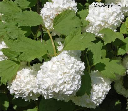 Viorne obier boule de neige viburnum opulus roseum - Boule de neige plante ...