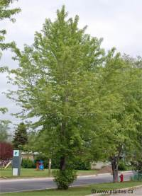 Photo d'érable argenté - Acer saccharinum