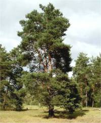 Photo d'un Pin sylvestre - Pinus sylvestris