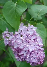 Photo de Lilas commun - Syringa vulgaris