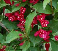 Photo de Weigela hybride - Weigela x hybrida