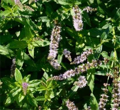 Menthe mentha for Plante verte vivace