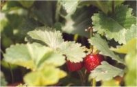 Photo de Fraisier sauvage - Fragaria virginiana