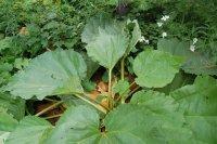 Rhubarbe - Rheum