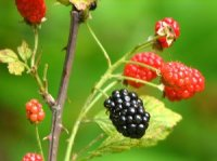 Photo des fruits de mûres - Rubus fruticosus
