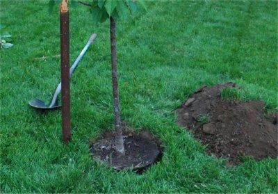 On plante l'arbre dans le trou