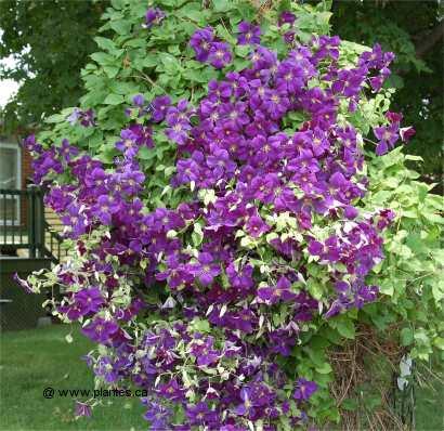 Fleur Mauve Grimpante La Violette Fleur Maison Retraite Champfleuri