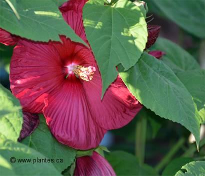 hibiscus luna red hibiscus moscheutos 39 luna red 39. Black Bedroom Furniture Sets. Home Design Ideas