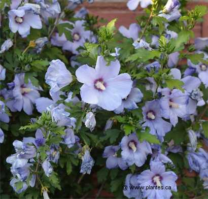 ketmie de syrie hibiscus syriacus 39 blue bird 39. Black Bedroom Furniture Sets. Home Design Ideas
