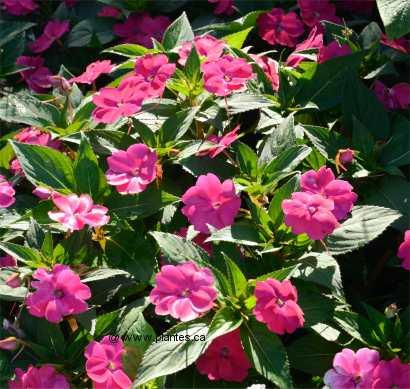 Impatiente impatiens for Plante d interieur plein soleil