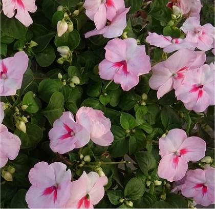 Fleurs impatiens - Impatiens de guinee l hiver ...