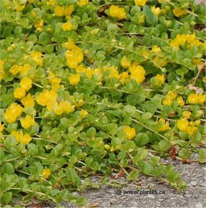Lysimaque nummulaire lysimachia nummularia for Plante vivace rampante