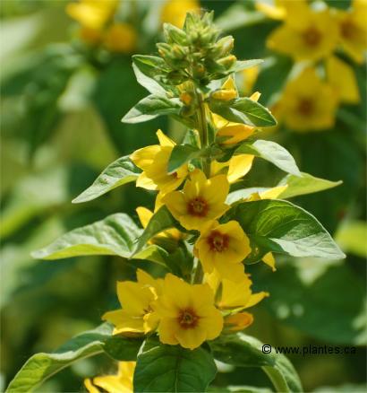 Photo de fleurs de Lysimaque ponctuée , Lysimachia punctata