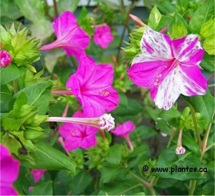 Belle de nuit mirabilis jalapa - Belle de nuit plante ...