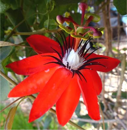 passiflore carlate passiflora coccinea. Black Bedroom Furniture Sets. Home Design Ideas