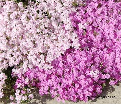 Phlox mousse phlox subulata - Phlox vivace couvre sol ...
