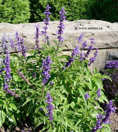 Sauge farineuse salvia farinacea - Plantes exterieures plein soleil ...