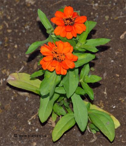Plantes à fleurs Zinnia
