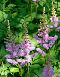 Photo d'Astilbe de chine - Astilbe chinensis