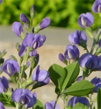 Photo de Faux indigotier - Baptisia australis