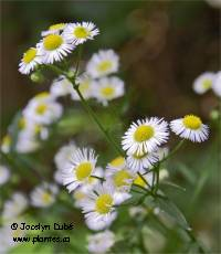 Photo d'Érigéron hispide - Erigeron strigosus