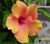 L 39 entretien et taille des hibiscus for Entretien hibiscus exterieur