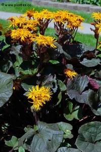 Photo de Ligulaire dentée - Ligularia dentata