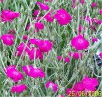 Coquelourde lychnis - Coquelourde des jardins lychnis coronaria ...