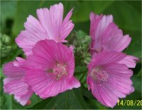 Photo de Mauve musquée - Malva moschata