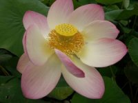 Photo de Lotus des Indes - Nelumbo nucifera