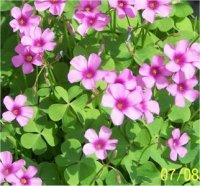 les plantes à fleurs roses