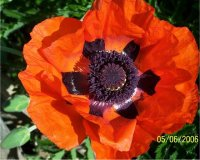 Photo de Pavot d'orient - Papaver orientale