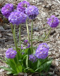 Photo de primevère denticulée - Primula denticulata