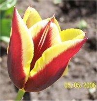 ¤ Le jeu de la fleur ¤ - Page 3 Tulipa-hybrida-gavota