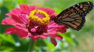 les plantes pour attirer les papillons. Black Bedroom Furniture Sets. Home Design Ideas