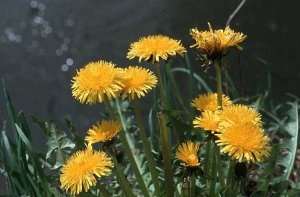 Photo de pissenlit - Taraxacum officinale